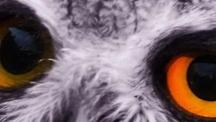 owl Trending